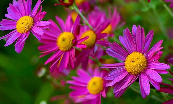 С этим видом часто путают ромашку мясо-красную за схожий цвет краевых цветков.