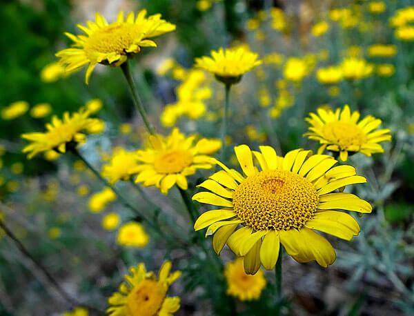 Цветки этого растения ранее использовали для получения желтой краски.