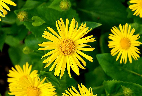 Жёлтый цветок похожий на ромашку фото