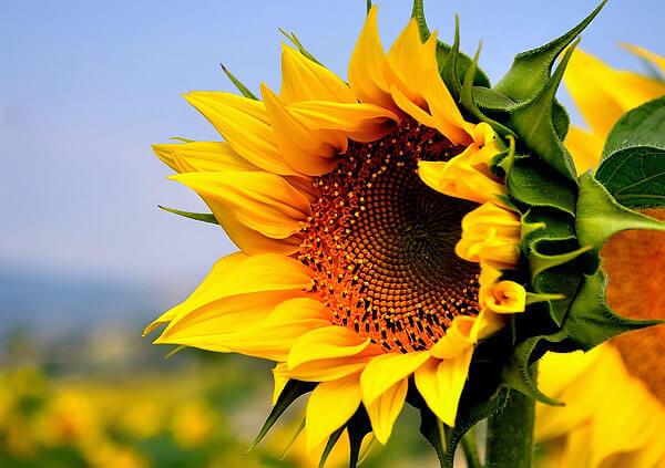 На месте каждого срединного цветка после опыления развивается семечка.