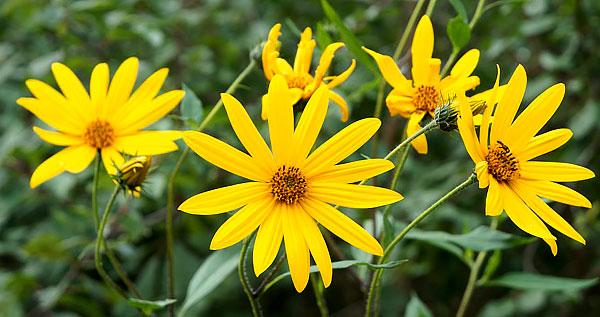 Разница здесь, опять же, в размерах соцветия, а также длине и форме краевых цветков.