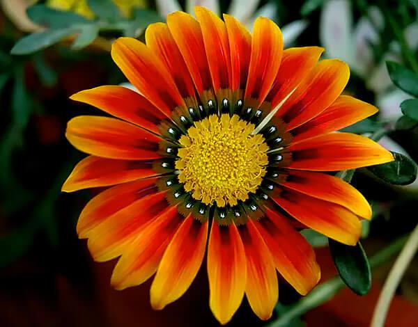 В некоторой степени соцветия газании напоминают календулу.