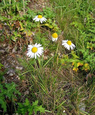 Не зная специфических отличительных особенностей, такие растения в дикой природе очень сложно не спутать с представителями рода Matricaria.