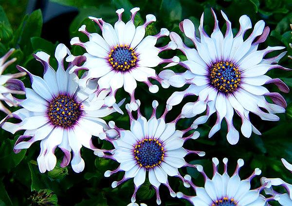 У большинства астровых ситуация обратная: краевые цветки стерильны, а оплодотворяются цветы в середине.