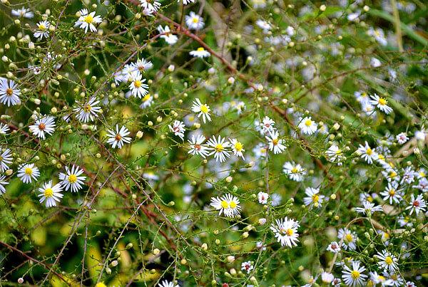 Особенно ярким отличием астр являются длинные тонкие краевые цветки.