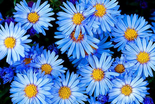 Растения многих родов семейства астровых бывают разных оттенков, но только не синих. Собственно, астры тем и выделяются среди всех своих родственников.