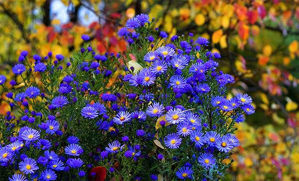 Здесь мало у кого повернется язык назвать эти цветы ромашками.