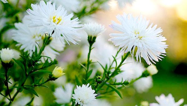 Именно пышные краевые цветки и отличают астры от ромашек.