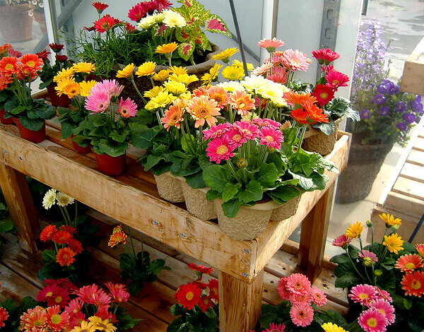 """Такие цветы больше похожи на селекционные или """"сказочные"""" ромашки, нежели на настоящие."""