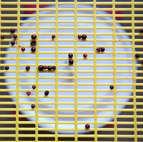 В оптимальном случае через сито проходят также мятые и высохшие ягоды, наличие которых в общей массе нежелательно.