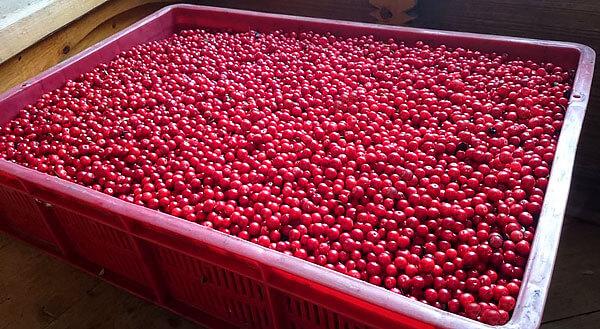 При наличии мусора в заготавливающей конторе ягоду могут либо вообще не принять, либо принять по сниженным расценкам.