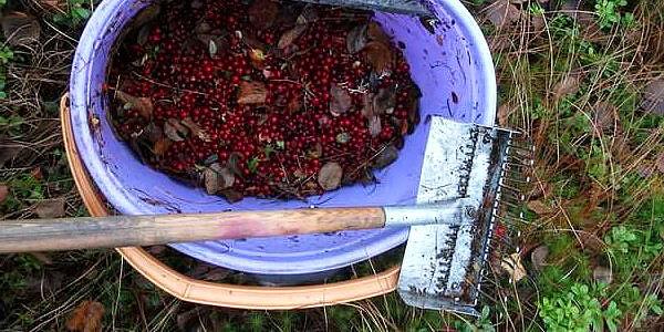 Главное преимущество грабель - возможность собирать ягоды, не наклоняясь.