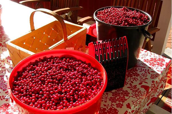 Точное влияние сбора ягод комбайнами на урожайность брусничников на сегодня не исследовано.