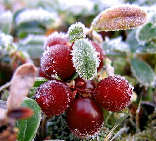 В это же время ягоды становятся мягкими и практически не подлежат хранению и транспортировке.