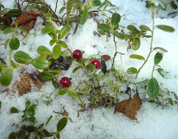 Все ягоды, не убранные до снегопадов, останутся кормом для птиц и млекопитающих.