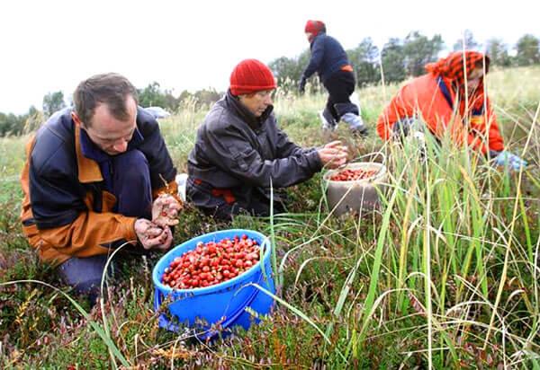 Для многих людей в этих регионах сезонный сбор брусники является не просто важным подспорьем, но порой единственным способом заработать.