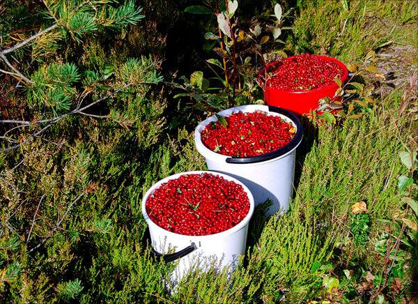 Прямо после леса ягоду нужно прочистить от листьев и мусора, после чего её уже можно консервировать или сдавать в заготконторы.