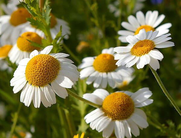 Из всех ромашек в качестве лекарственного растения наиболее известна именно аптечная.