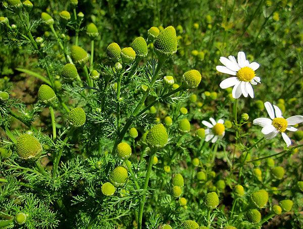 Интересно, что трубчатые цветки этого вида зеленые, в отличие от желтых у других ромашек.