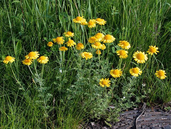 В то же время, это растение широко применяется в народной медицине и считается лекарственным.