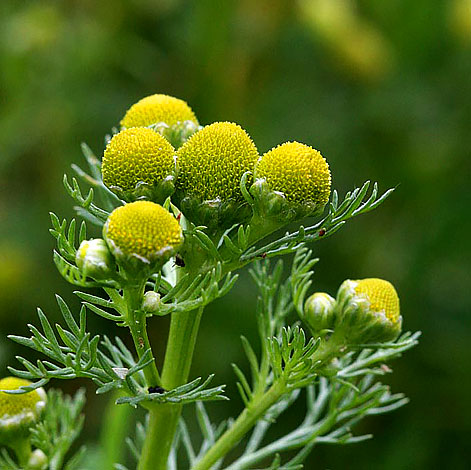 Это растение отличается и менее длинными цветоносами, более густой листвой и более плотными кустами вообще.
