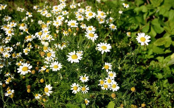 Сами соцветия этого вида отличаются от соцветий ромашки аптечной отсутствием полости внутри.