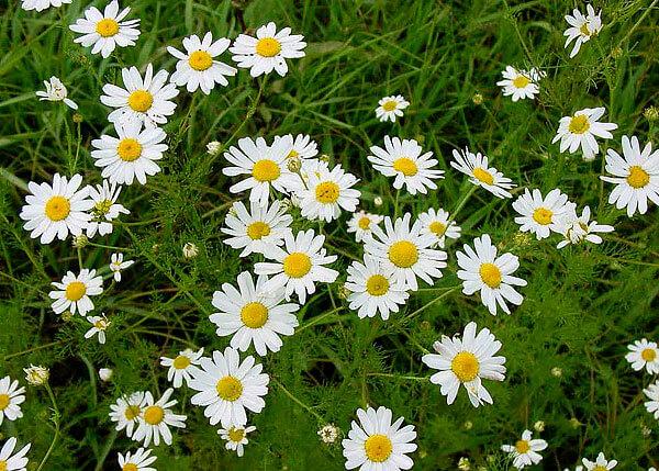 По отсутствию запаха эти растения можно отличать в том числе от пиретрумов и пупавок.