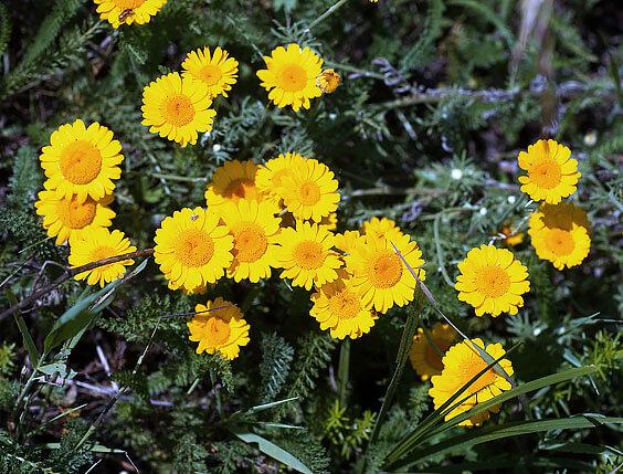Среди растений семейства астровых имеется много видов с желтыми соцветиями, и все они не относятся к роду Matricaria.