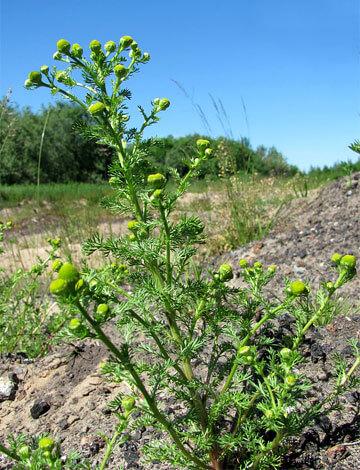 Этот склон ещё не успели захватить другие растения, и потому лепидотека чувствует себя здесь превосходно.