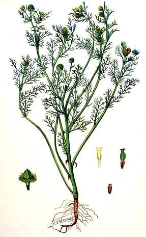 Корень, семена и трубчатые цветки растения мало отличаются от таковых у других представителей рода Matricaria.