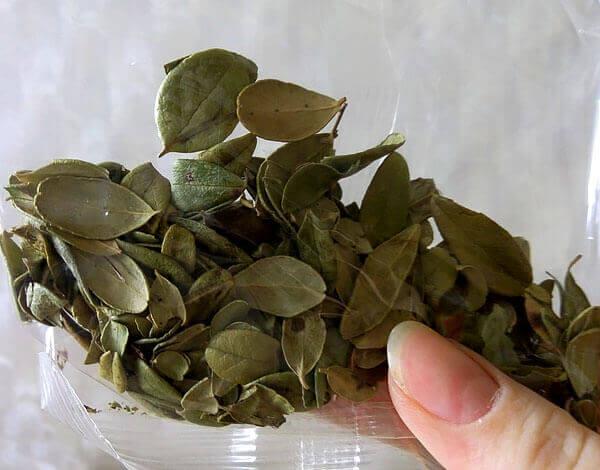 Ещё более ценным мочегонным средством считается лист толокнянки, но из-за редкости её часто заменяют именно брусникой.