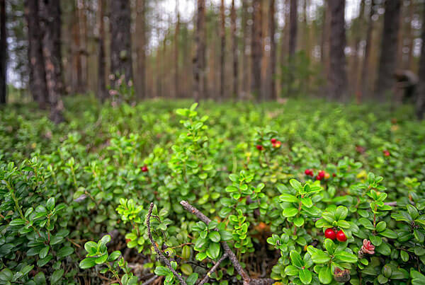 Наиболее предпочитаемый брусникой биотоп - сухие старые сосновые леса.