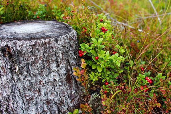 Нередко такие пни совершенно разваливаются, а выросшие на них кусты брусники остаются расти на коке их трухи и земли.