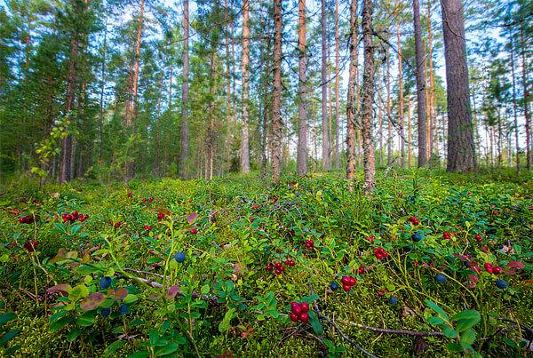 Там, где брусника растет вместе с черникой, собирать их сложно, поскольку требуется отдельное отделение одних ягод от других.