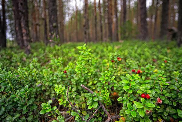 """В таких условиях растение способно """"забивать"""" многих своих конкурентов."""