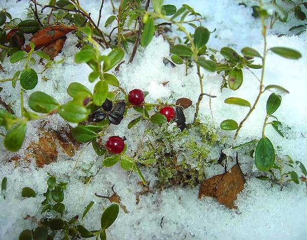 Однажды тронутые морозом, ягоды брусники становятся мягкими и водянистыми.