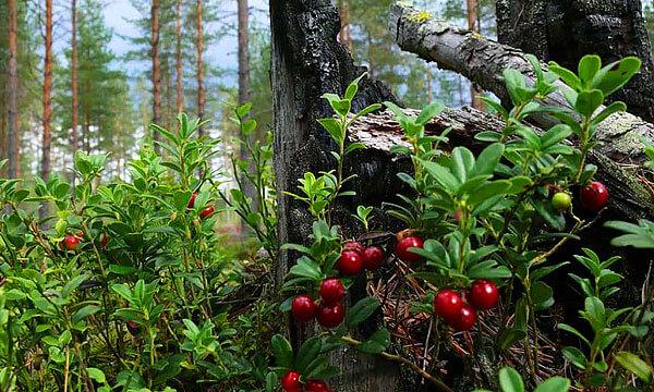 Зачастую кустами этого растения поваленные деревья покрываются буквально сплошь.