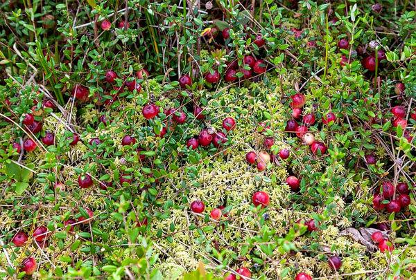Хорошо заметна и неоднородность цвета ягод, и мелкие размеры листьев на кусте.