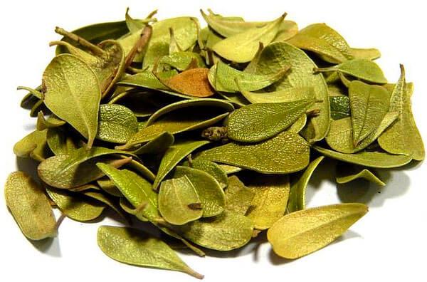 При определенном опыте листву толокнянки можно отличит от брусничной по форме - у толокнянки более узкий черенок и широкий наружный край листа.