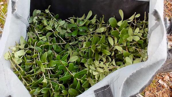 Побеги хоть и допускаются в составе сырья, наличие их считается нежелательным - в идеале для приготовления средств нужно использовать только листья.