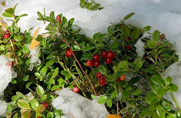 В то же время, ягоды после морозов теряют много кислот и имеют особенно приятный вкус.