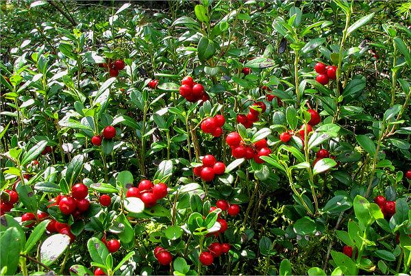 Видно, что брусничные плоды более круглые и имеют более однородный цвет.