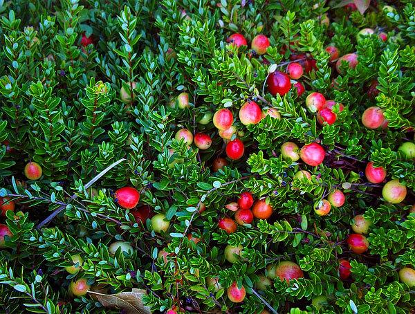 Видно, что ягоды крупнее листьев.