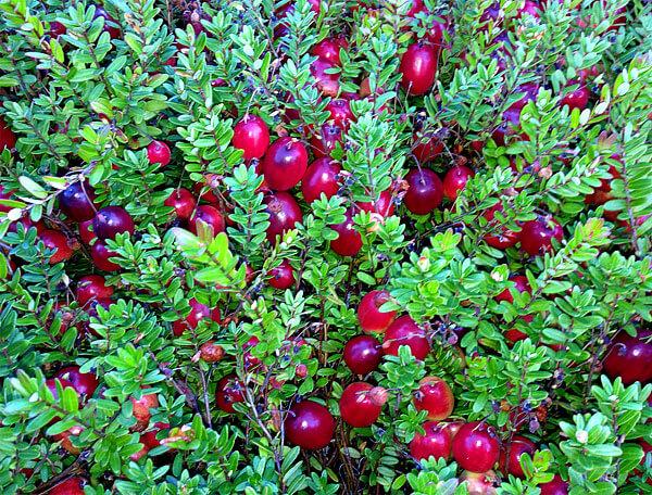 Здесь же ягоды вытянуты в длину и имеют явный градиент по цвету.
