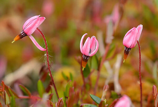 Цветы же клюквы одиночны.