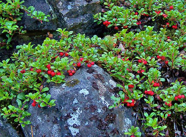 На таких каменистых склонах у брусники практически нет конкурентов.