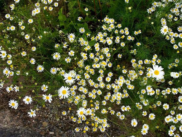 Растения с более крупными соцветиями - нивяник.