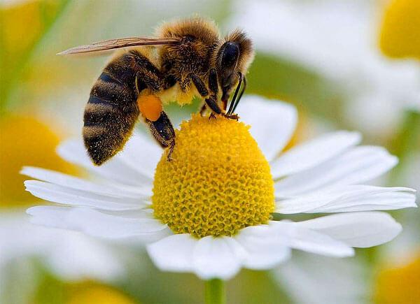 От привлекательности соцветий для насекомых-опылителей зависит успех размножения куста.