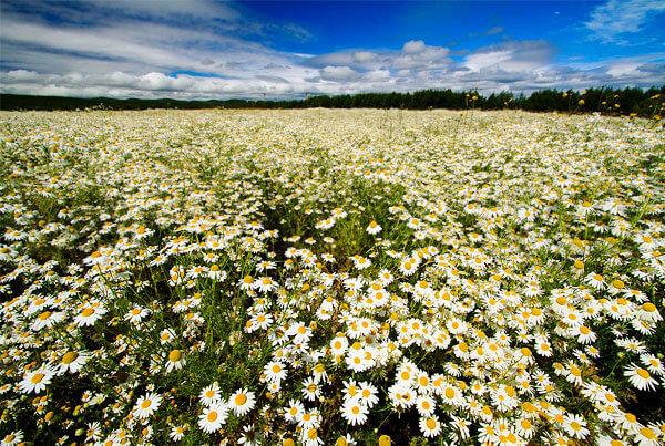 Примерно так же выглядят культурные посадки ромашки, на которых её выращивают для получения лекарственного сырья.