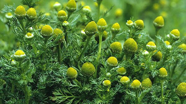"""Соцветия этого вида выглядят так, словно с обычных ромашек """"ободрали"""" краевые цветки."""